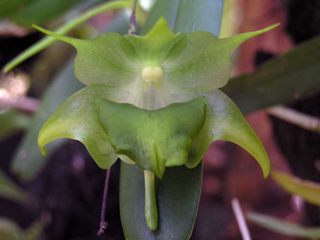 Aeranthes ramosa