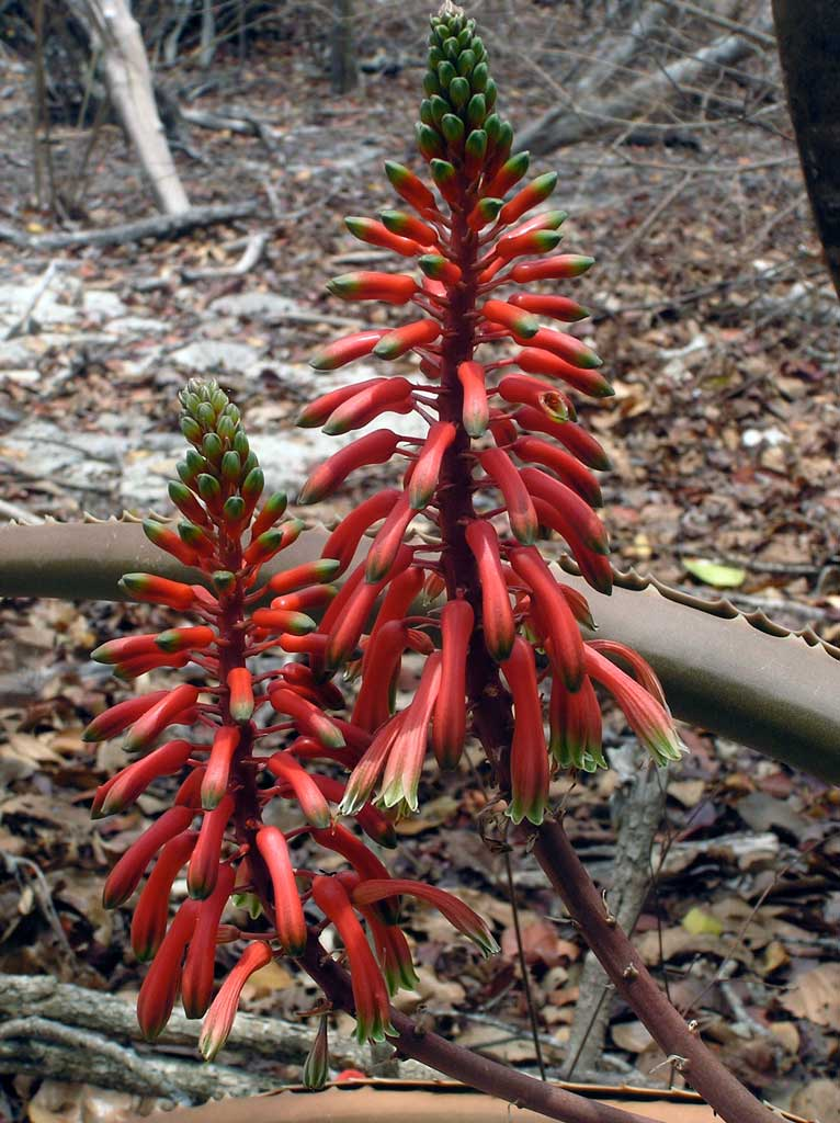 Aloe occidentalis 2