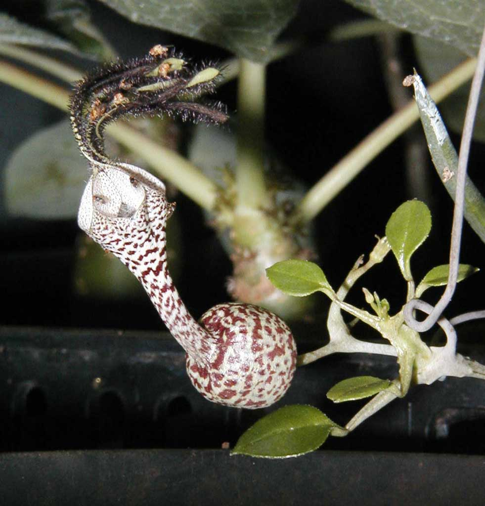 Ceropegia simonae