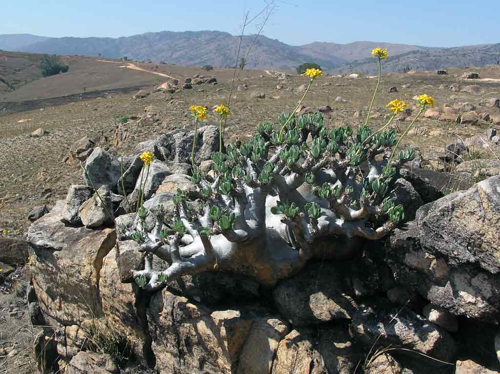 Pachypodium densiflorum 1